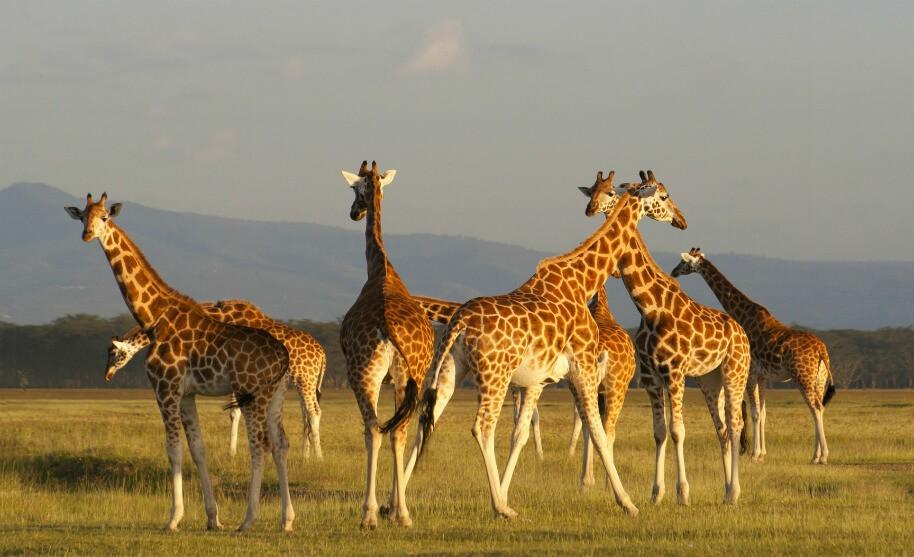 Žirafy na safari v Keni