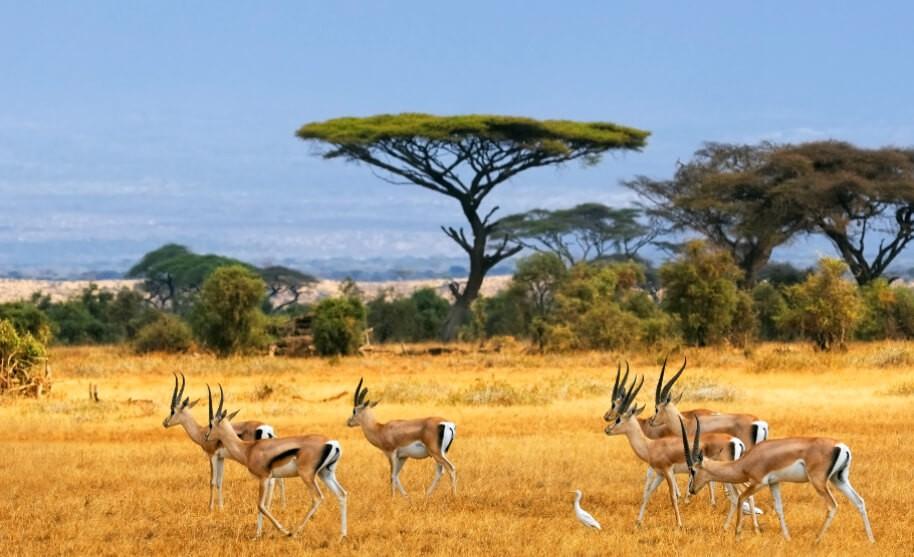 Gazely na savaně v Keni