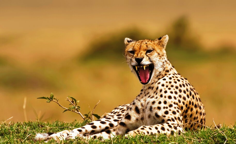Divoká fauna v Keni