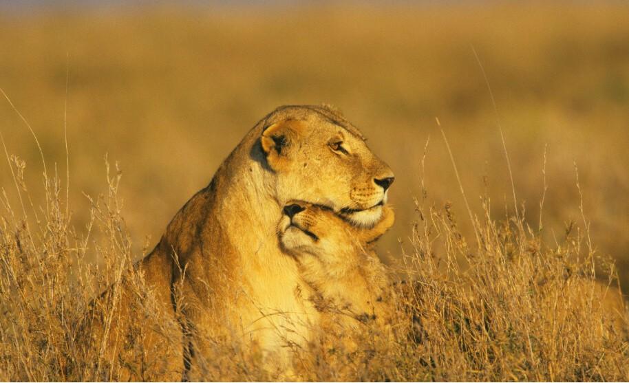 Lvi na safari v Keni