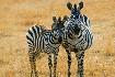 Zebry na safari v Keni