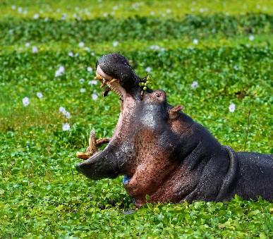 Rwanda - Uganda - Horské gorily v zeleném srdci Afriky