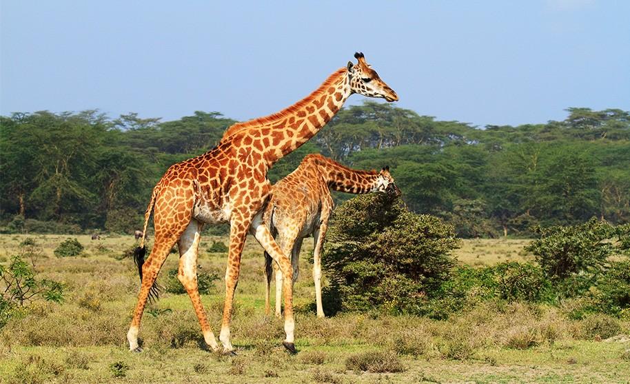 Divoká příroda na safari v Keni v Africe