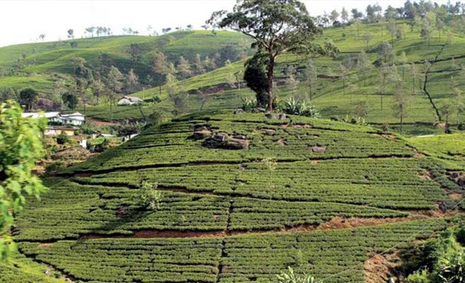 Výlet na čajové plantáže