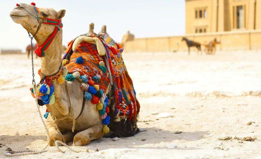 Velbloud v Egyptě