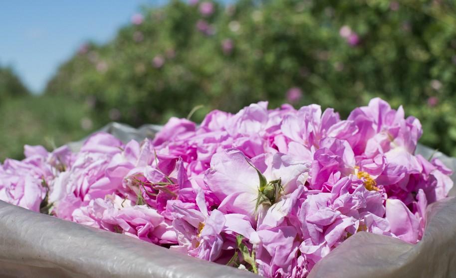 Pěstování růží v Bulharsku